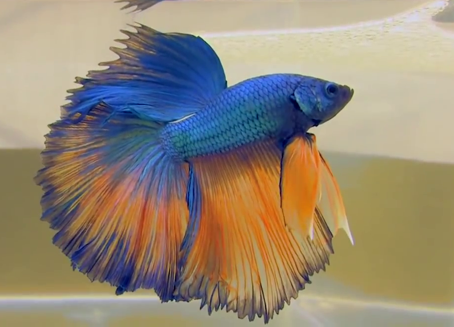 Betta fish a fascinating aquarium fish bettafishmania for How much are betta fish